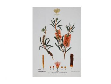 Royal Botanic Gardens Victoria Botanic Tea Towel 50x70cm Bottlebrush