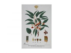 Royal Botanic Gardens Victoria Botanic Tea Towel 50x70cm Flowering Gum